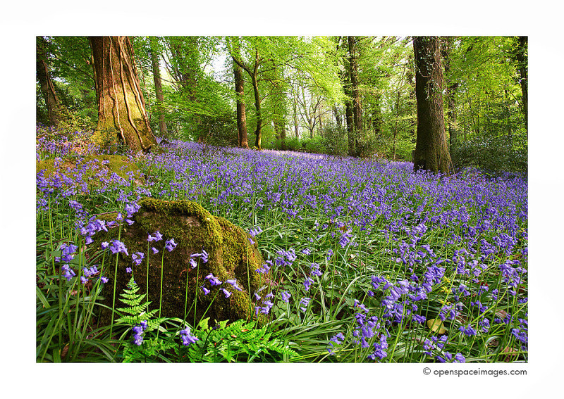 The Secret Bluebell Wood