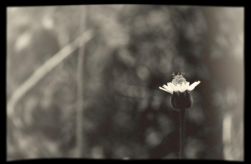 wild flower, fake lomo
