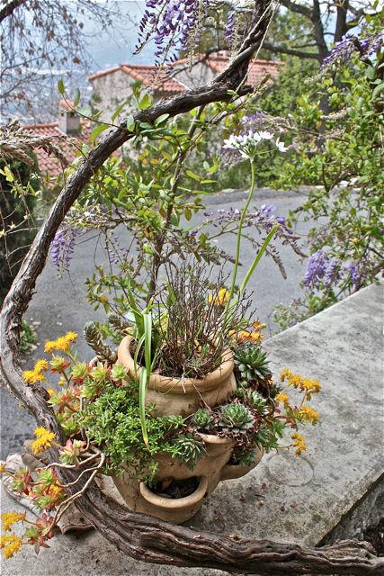 La glycine et les succulentes