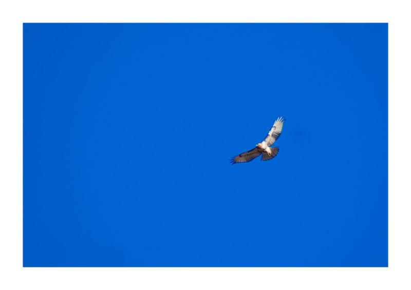 hawk animal bird sky blue