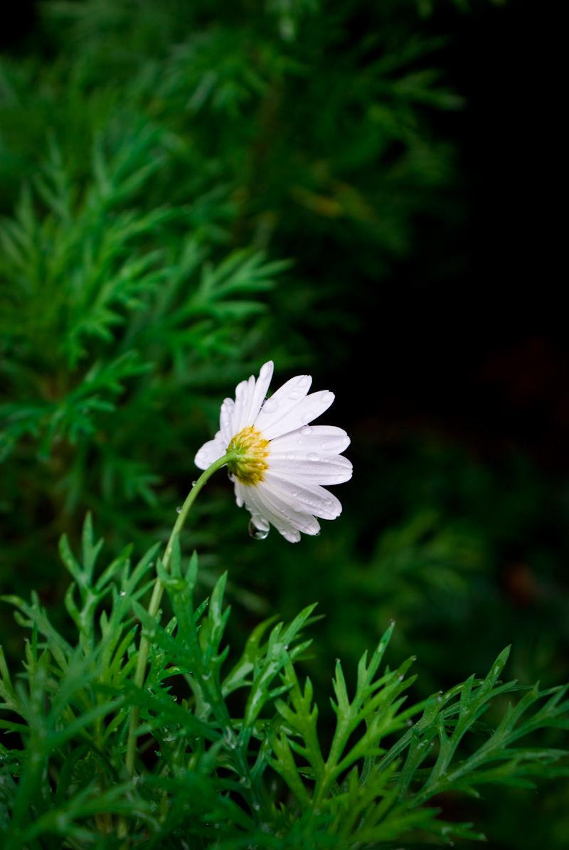 flower daisies green