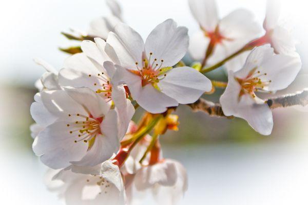 Cherry Blossom white macro