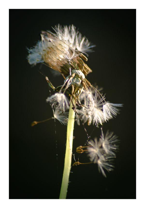 dandelion flower close-up macro