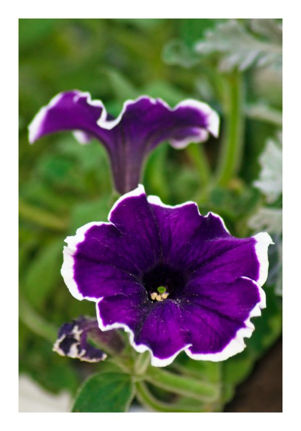 petunia flower macro closup green