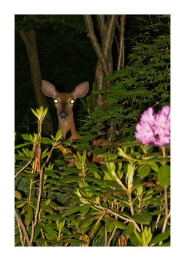 Deer Hiding night bush