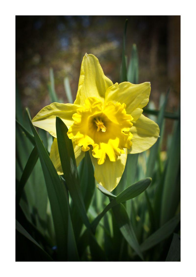 closeup, Daffodil, flower, macro