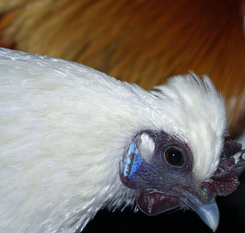 poule asiatique