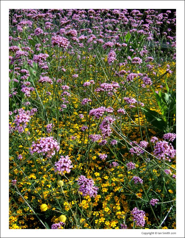 Wild flowers growing in the City of London