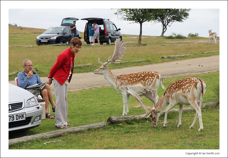 Elderly couple greeting stags in Knole Park
