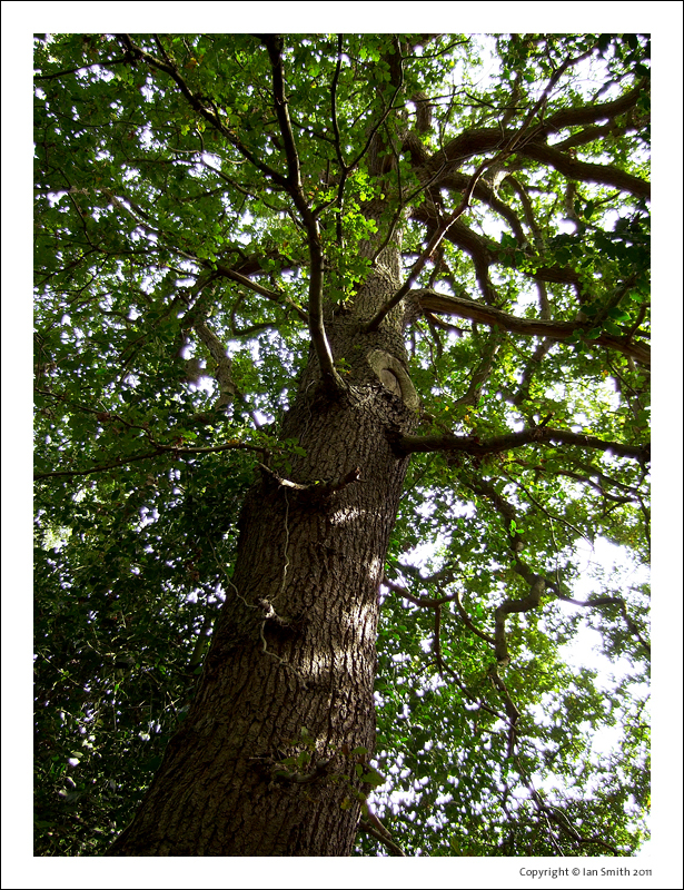 Looking up an old tall tree in Chislehurst