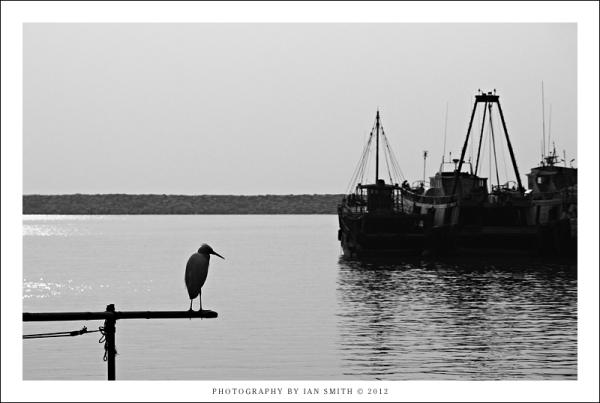 Bird waiting for fish Tai O