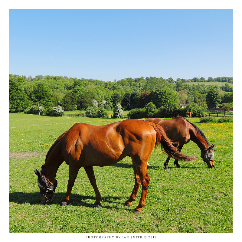 Two horses grazing in Kent