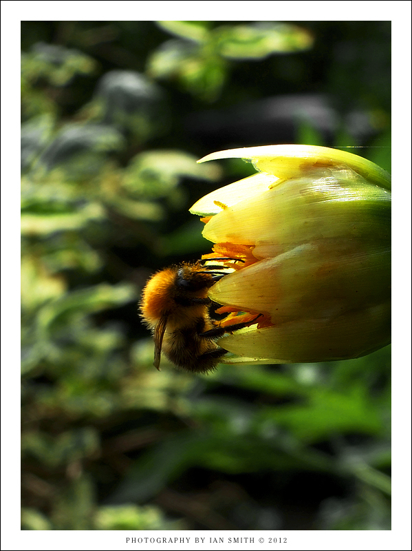 A bee collecting nectar