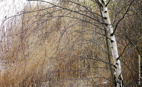 Birch tree and reeds at Canada Water