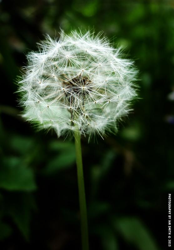 Unblown Dandelion