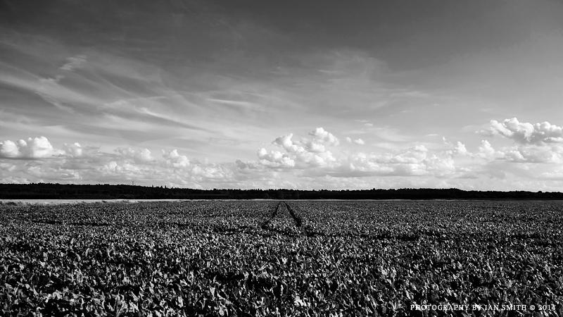 Sugar Beet Field Norfolk