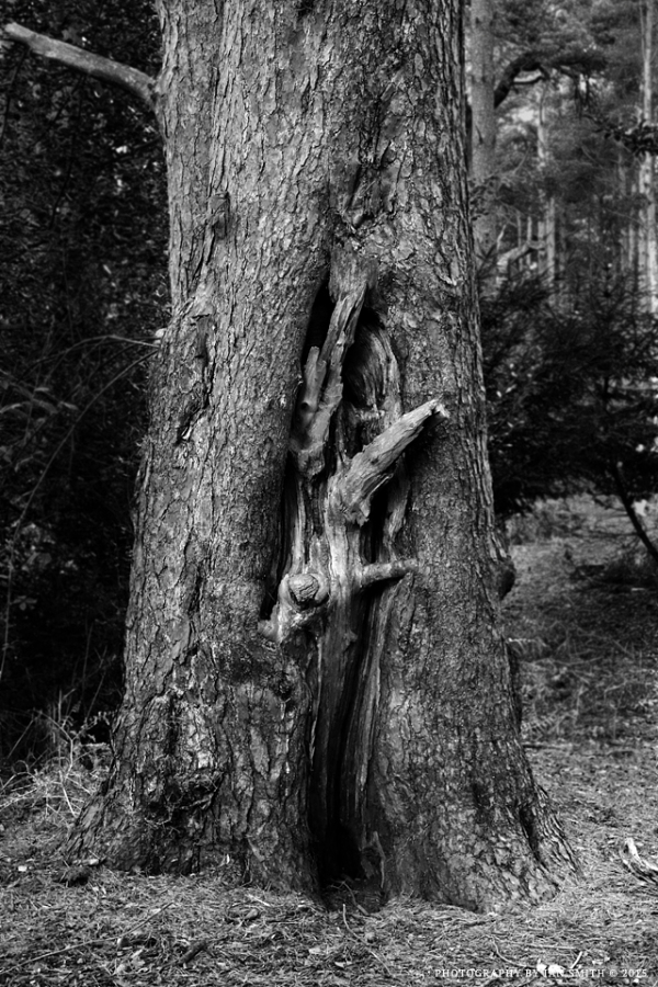 Ingrowing tree