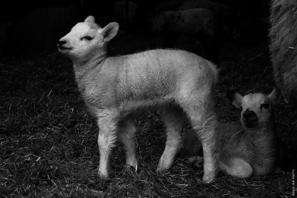 A posing lamb at Snettisham Park Farm