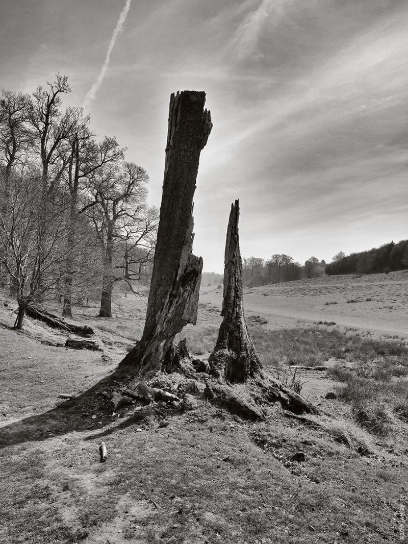 Dead tree Sevenoaks