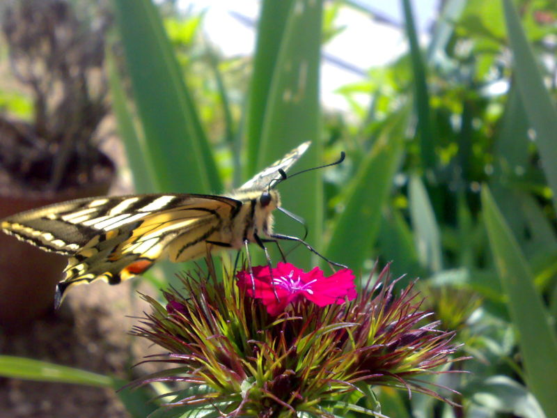 The King of the Butterflies! #2