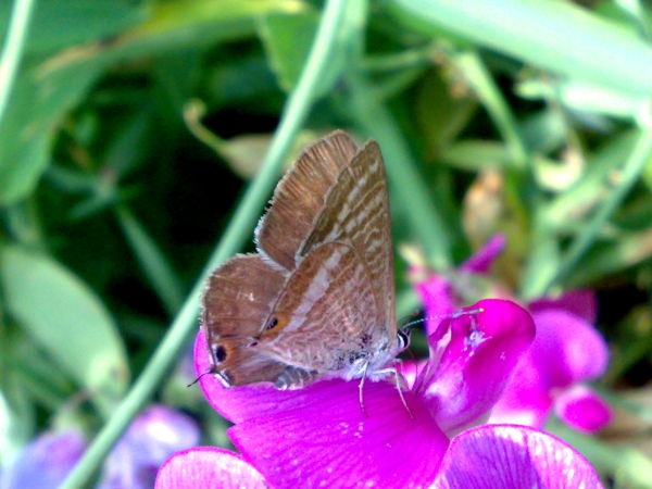 Micro Butterfly --> Long-tailed Blue