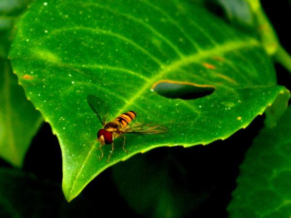 Marmalade Hoverfly 3#