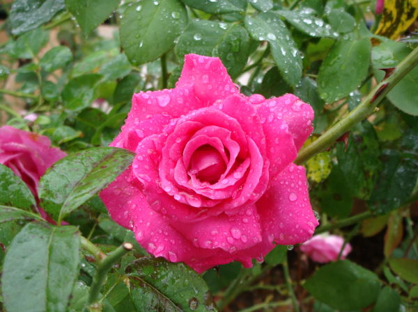 Rain Drops on Pink Rose