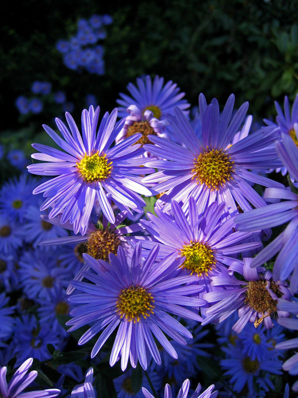 Paarse margrieten / Purple daisy