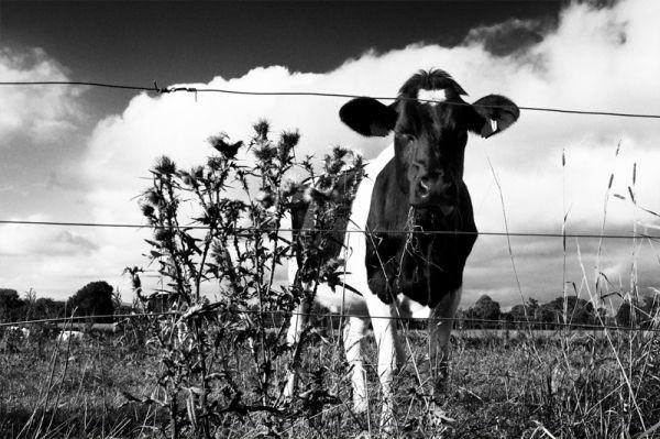 cow, kilkenny, callan, kyle, ireland