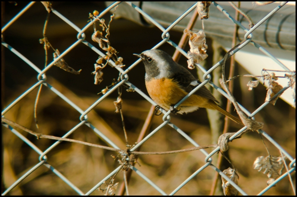 Fenced Bird
