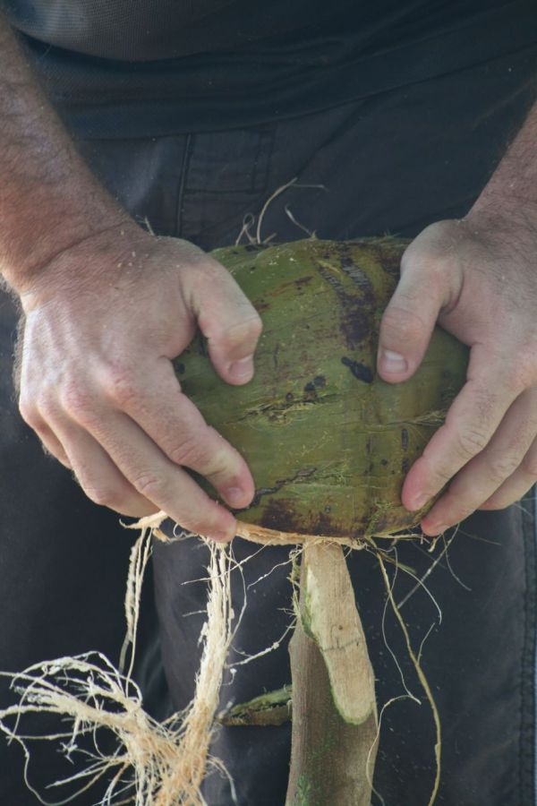 husking coconut in nukulau island