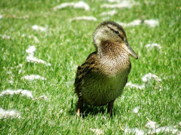 shy duckie