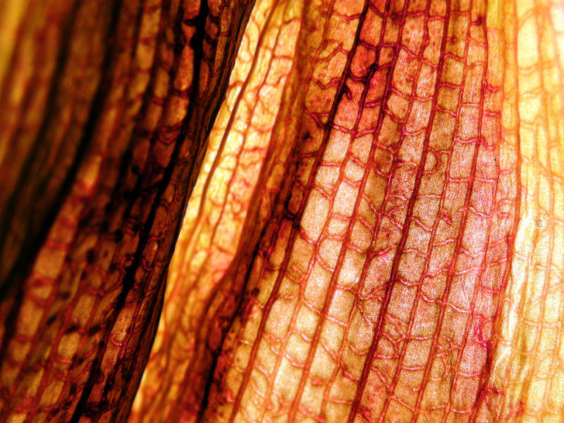 Vein skeleton of a leaf