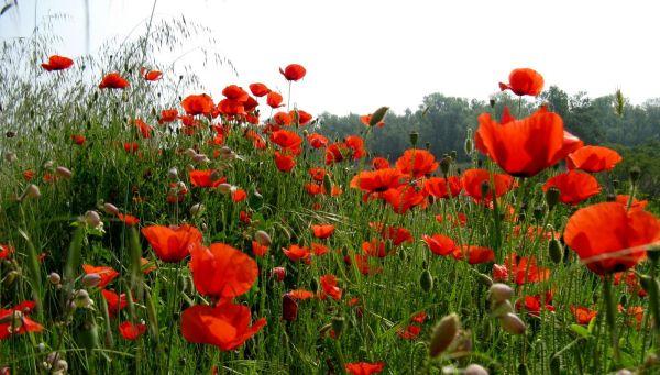 Poppyes