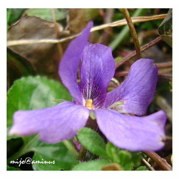 Dame violette