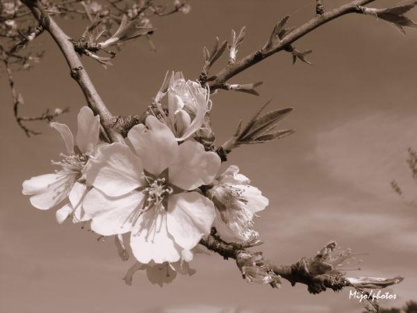 Un amandier fait le printemps !