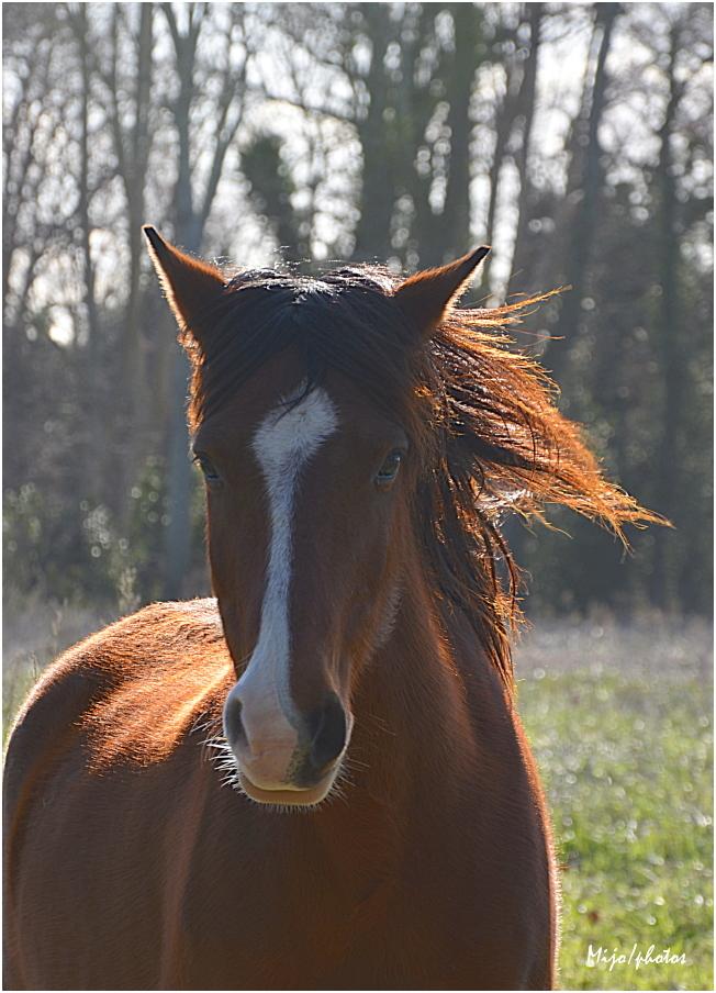 Le petit cheval roux