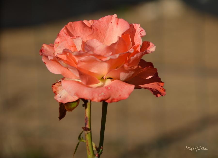 Rose de janvier...