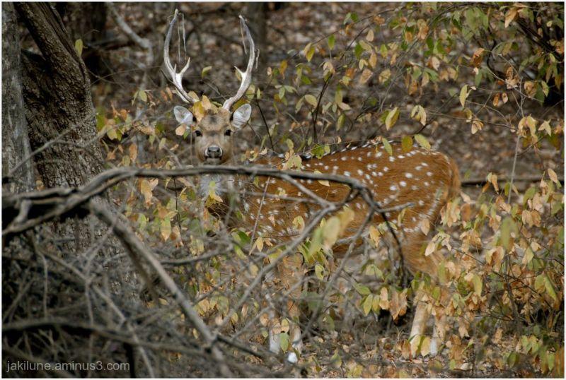 Dans la forêt de Ranthambore