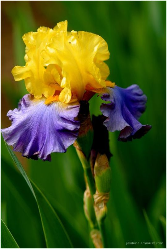 Iris, flower