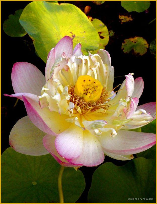 Les derniers jours du lotus