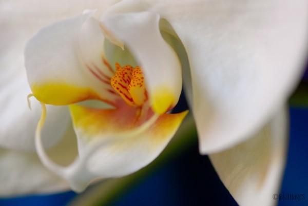 Mystère de l'orchidée
