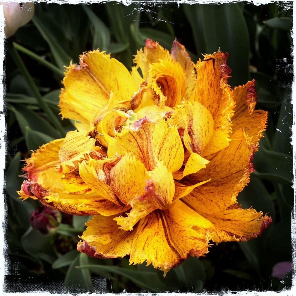 tulipe fanée