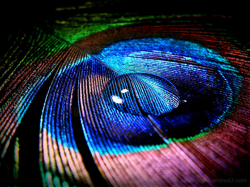 teardrop of a peacock