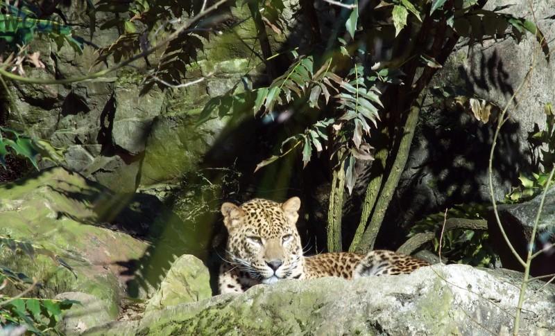 Shri Lanka Leopard