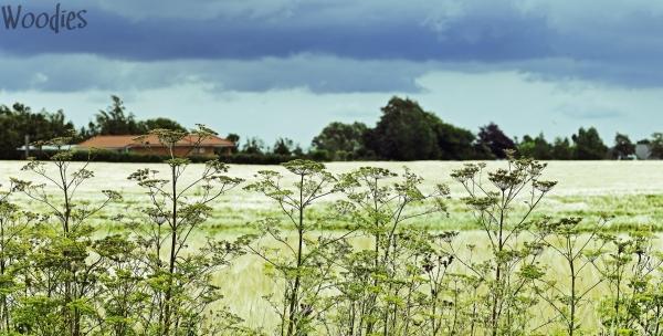 Summer fields in Falster