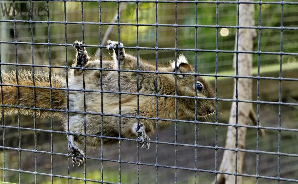 Chinese Dwarf Squirrel