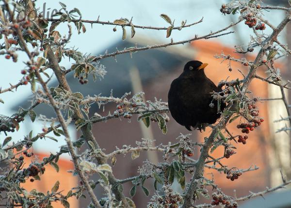 Black-Bird enjoying winter sun