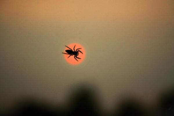 spider smoke