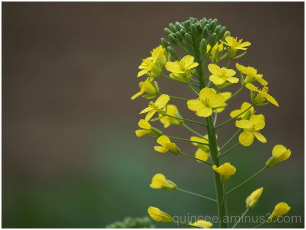 Blooming Mustards